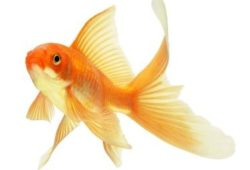 Caring For Gold Fish The Natural Way