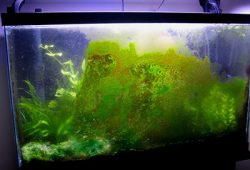 How To Kill Algae In Your Salt Water Fish Tank