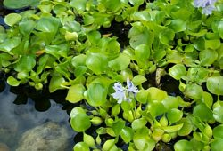 Aquatic pond plants