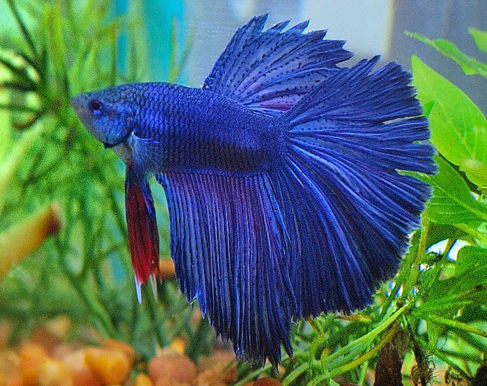 7 Betta Disease Symptoms