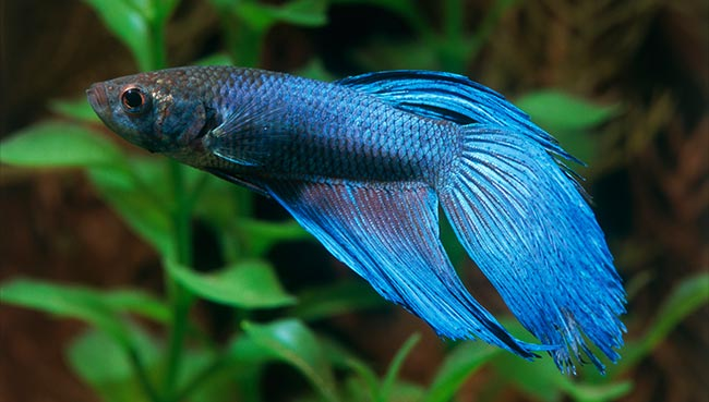 A Better Deal for Bettas