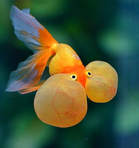 Bubble Eyed Goldfish
