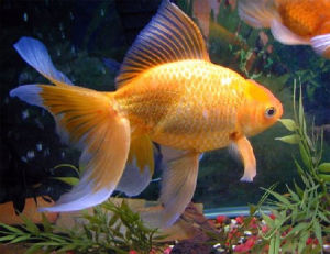 Caring For Gold Fish