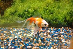 Caring For Gold Fish Differs From Breeding Them