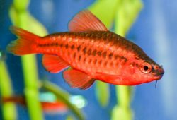 Conservation status of the Cherry Barb (Puntius titteya)