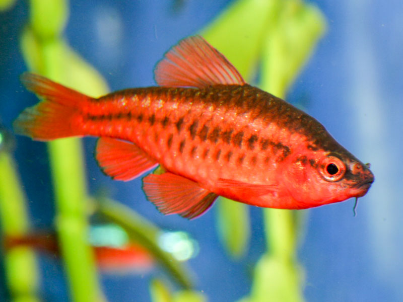 Conservation status of the Cherry Barb