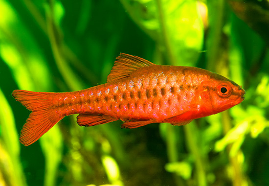 Breeding the Cherry Barb, Puntius titteya
