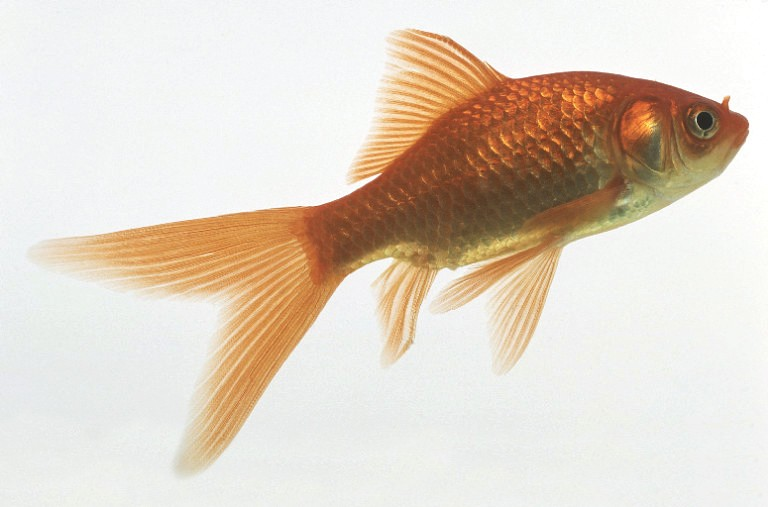 Comet goldfish some interesting information on subject for Fish and tails