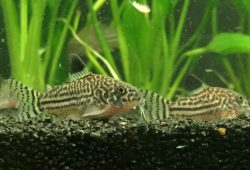 Corydoras in the Aquarium