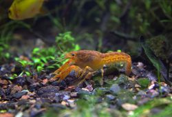 Crayfish In Your Aquarium