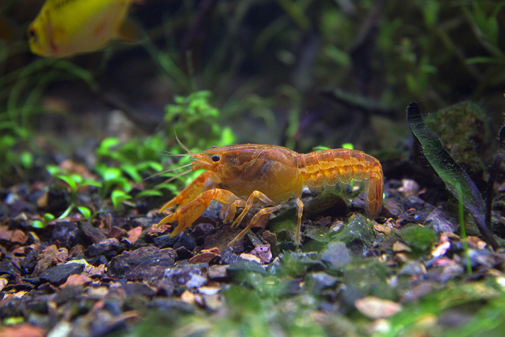Crayfish In Your Aquarium