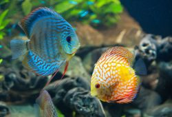 Discus Fish Food and Diet