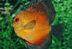 What Discus Fish Tank Size Should You Get