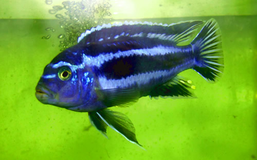 Electric Blue Cichlid – Proper Care and Feeding