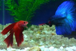 Fish That Can Live With Your Betta