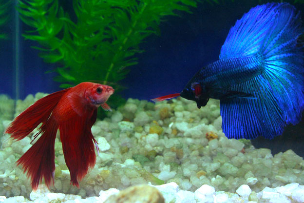 fish that can live with your betta some useful information