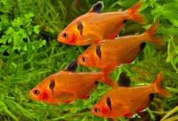 Cold Fresh Water Aquarium Fish