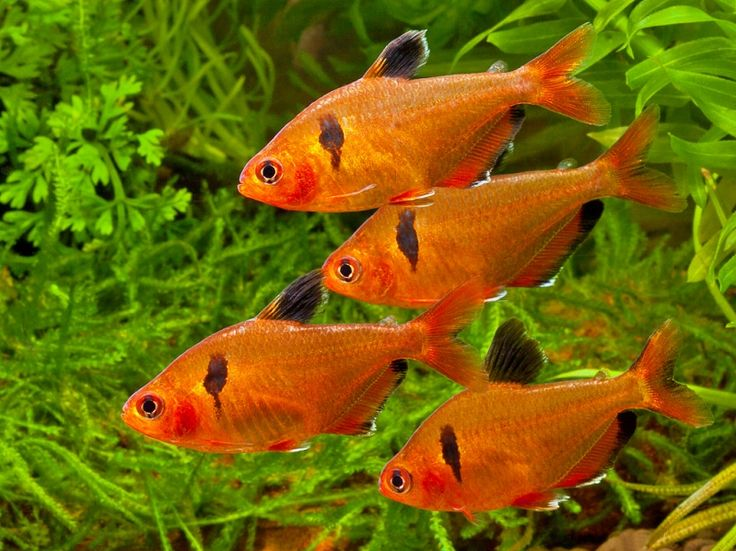 Cold fresh water aquarium fish some information on subject for Cold freshwater fish