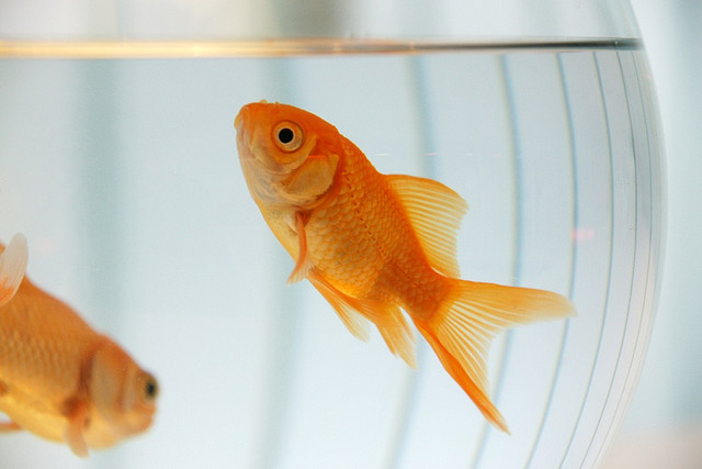 Caring For Gold Fish a.k.a Killing Them Softly