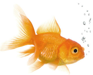 Keep Your Hands To Yourselves When Caring For Gold Fish