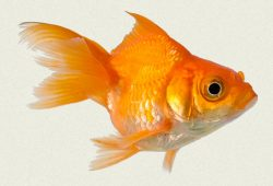 Caring For Gold Fish Is The Secret To Longevity
