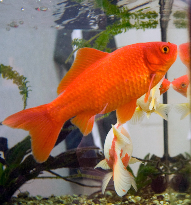 Caring For Gold Fish By Depriving Them Of Food