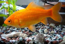 Goldfish Illness