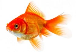 Goldfish Ailments