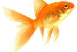 Goldfish Facts