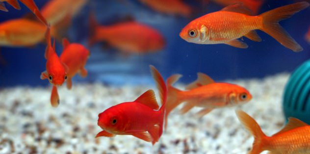Goldfish Reproduction