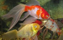 Pond Fish: Goldfish and Koi