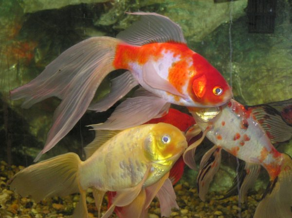 Pond fish goldfish and koi some useful information for Koi pond size