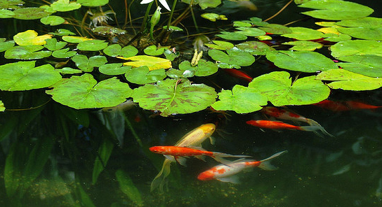 Goldfish ponds