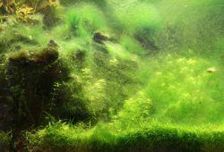 How To Control Hair Algae In Fish Tanks