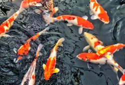 Koi Fish Diseases
