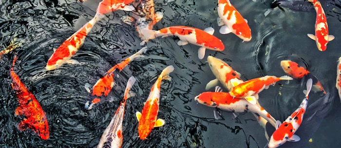 Koi fish diseases some useful information on subject for Koi fish parasites