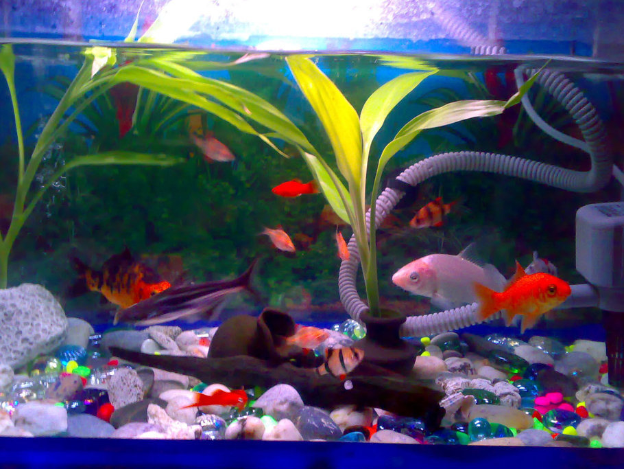 Koi fish tank some interesting considerations on subject for Pet koi fish tank