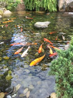 A Pond Made for a Koi Fish
