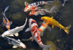 Some Common Maintenance Requirements For Your Koi Pond