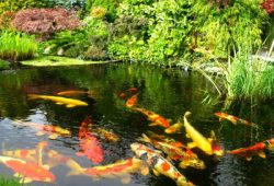 How to Reduce Koi Pond Algae Formation
