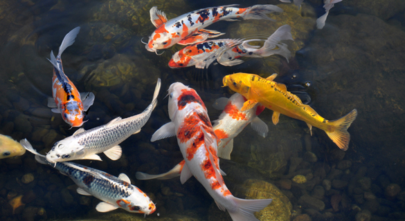Some common maintenance requirements for your koi pond for Koi fish maintenance