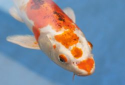 Some of The Common and Popular Koi Types