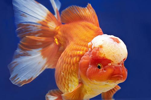 lionhead goldfish ile ilgili görsel sonucu