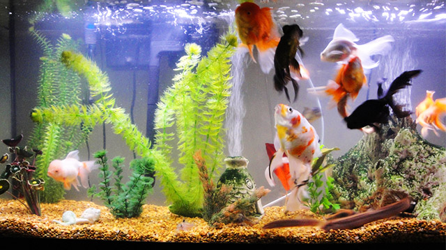 Safely Move Fish To A New Fish Tank