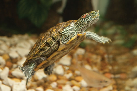 Pet Turtle Care. Some Useful Information On Subject
