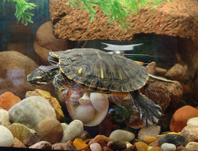 Are Pet Turtles the Right Choice for You