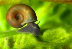 Pet or Pest? Pond Snails in the Tropical Aquarium
