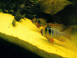 Rocks or Sand for Cichlids