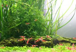 Shrimp, Snails, Crayfish and Other Invertebrates for the Freshwater Aquarium and Goldfish Bowl