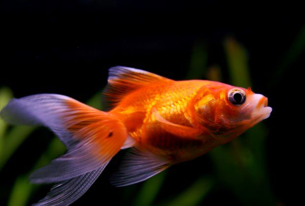 Sick Goldfish